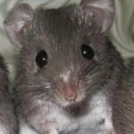 Un ratón africano restituye tejidos como las salamandras