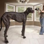 Zeus, el perro más alto del mundo, la estrella del nuevo Libro Guinness