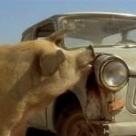 Roban dos cerdos y se los llevan en el asiento trasero del coche, uno a cada lado de su novia