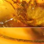 Una erección conservada durante 99 millones de años