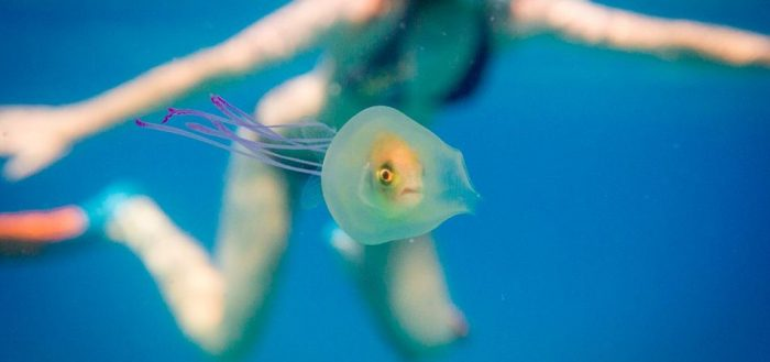 pez medusa
