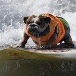 Cincuenta perros compiten en un campeonato de surf en California