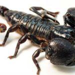 ¿Sabías que el veneno de los escorpiones varía en función de su presa?