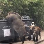 'Pigzilla' el jabalí gigante que a atemorizado a los hongkoneses