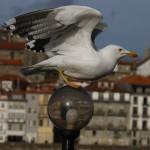 Una ciudad belga suministrará píldoras anticonceptivas a 'sus' gaviotas